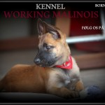 Working-Malinois
